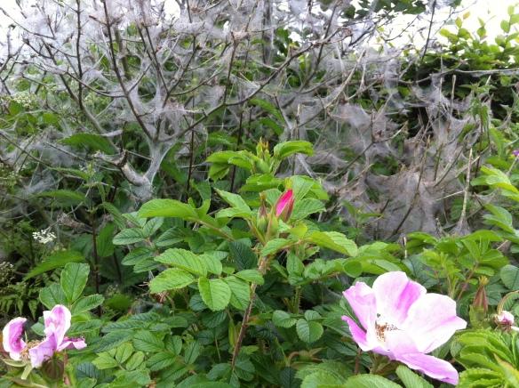 Rosa rugosa voor de Kardinaalsmuts die momenteel de kraamkamer is van een nachtvlinder